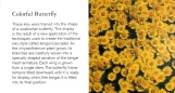 Cúc được trồng theo kiểu kengai, nhưng mỗi cái hoa cúc có hình con bướm đuôi én