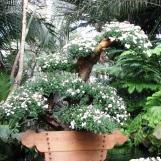 cuc-bonsai-2