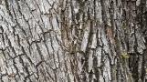 Vỏ cây sồi