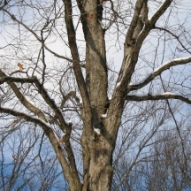Cây sồi còn đọng tuyết trên nhánh cây