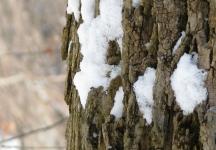 tuyết bám trên vỏ cây