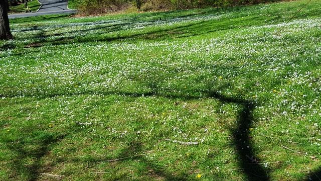 bãi cỏ trổ đầy hoa trắng