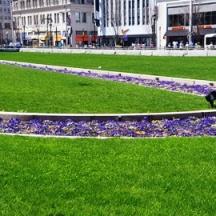 Thảm cỏ và bồn hoa violet. Người ta nói loại hoa này không thơm, nhưng mà, tôi thấy nó thơm ngát.