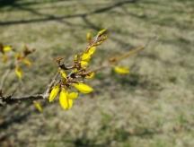 """Vài nụ hoa """"Đầu Xuân"""" chớm nở. Forsythia thấy tự điển gọi là đầu xuân. Tôi gọi là mai Mỹ."""
