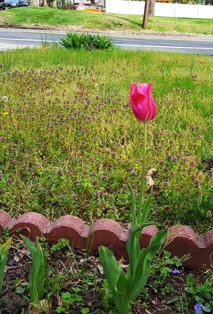một hoa tulip đỏ