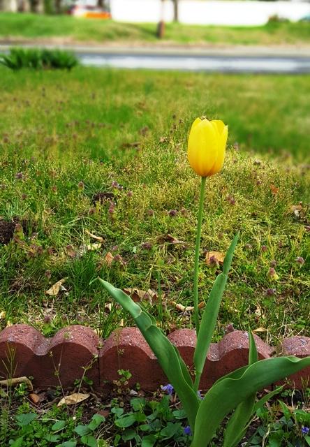 một hoa tulip vàng
