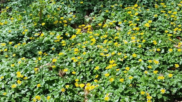 một vạt hoa vàng (bloodroots) trong rừng