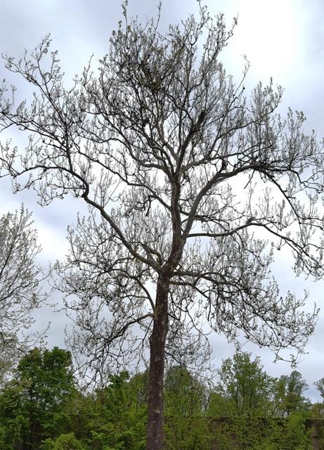 cây sycamore