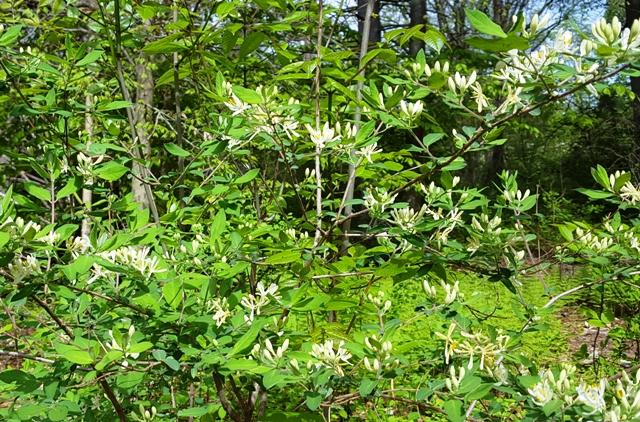 hoa rừng giống tương tự hoa kim ngân