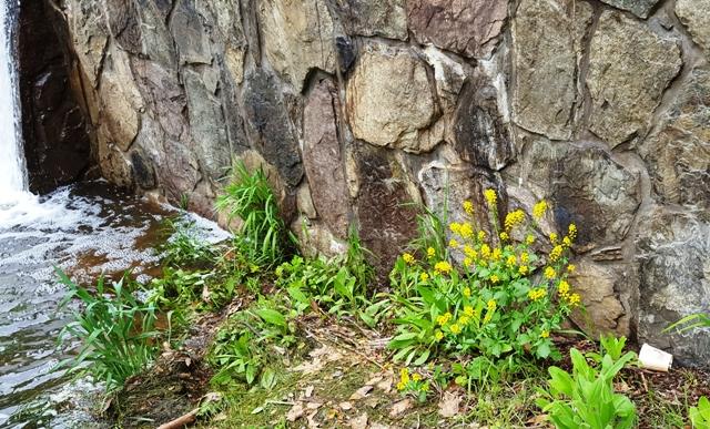 khóm hoa vàng bên thác