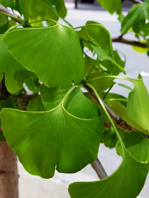 vài chiếc lá của cây ginko