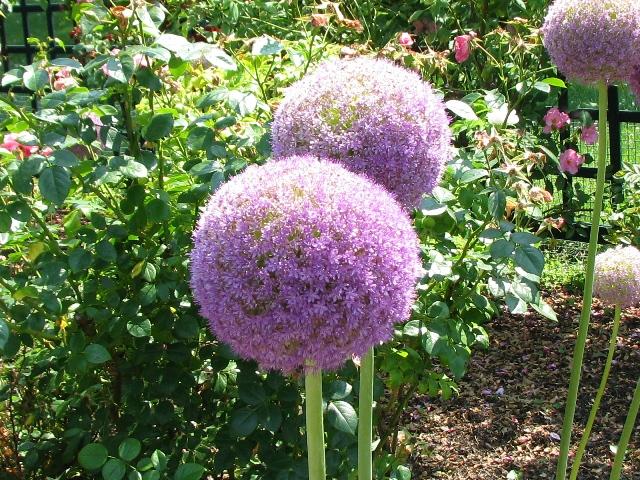 hoa củ hành