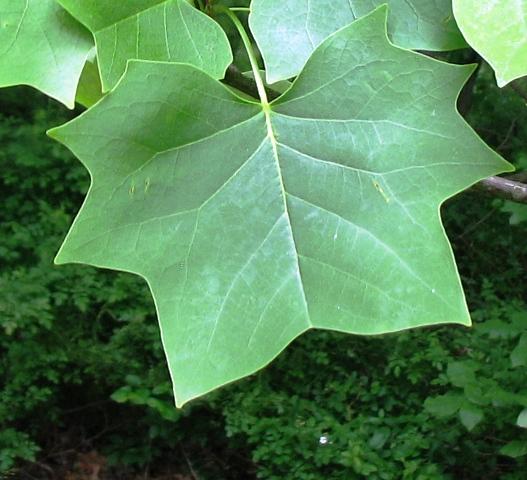 lá của cây tulip tree còn gọi là angel dress tree
