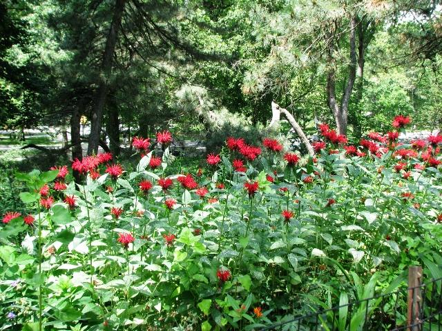 hoa như những con nhện đỏ trong vườn Shakespeare