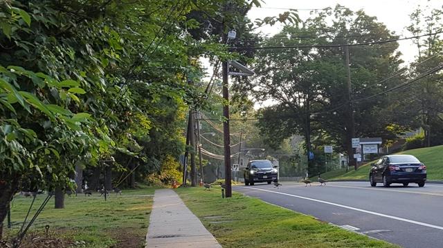 xe ngừng cho đàn vịt băng qua đường
