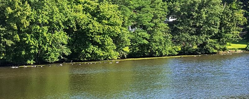 Đàn ngỗng Canada bên kia bờ hồ