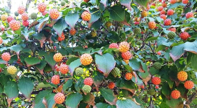 trái của cây dogwood (sơn thù du)