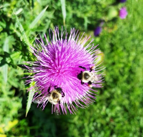 ong và thistle