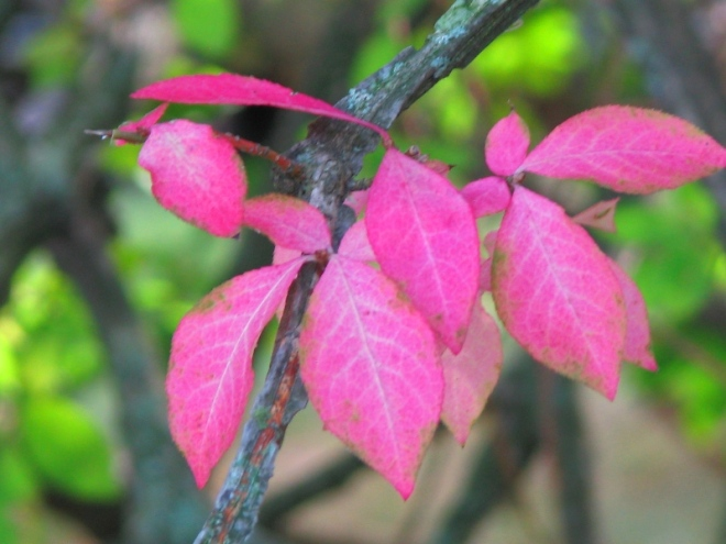 lá cây eastern redbud