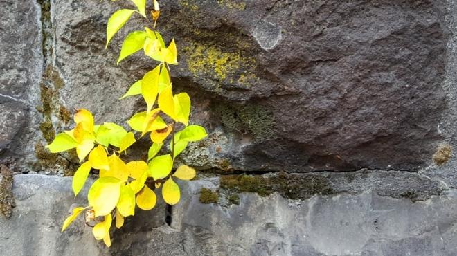 mùa thu ở kẽ đá