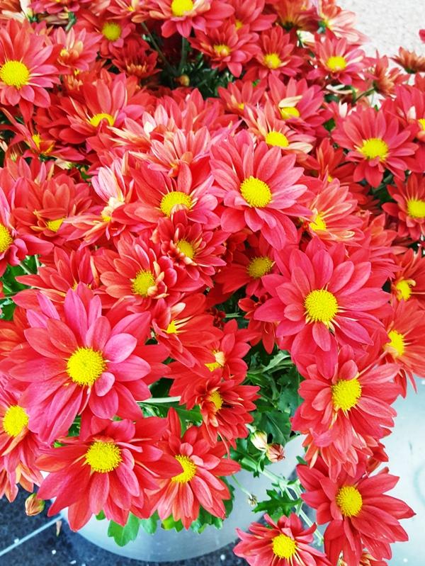 mùa thu không thể thiếu hoa cúc