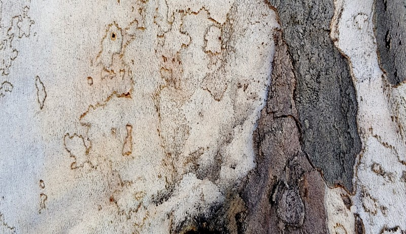 vỏ cây sycamore 2