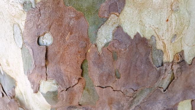 Vỏ cây sycamore