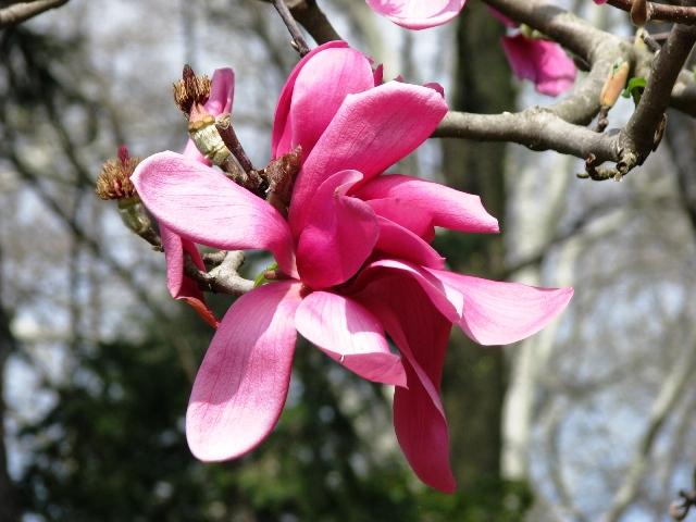 magnolia đỏ