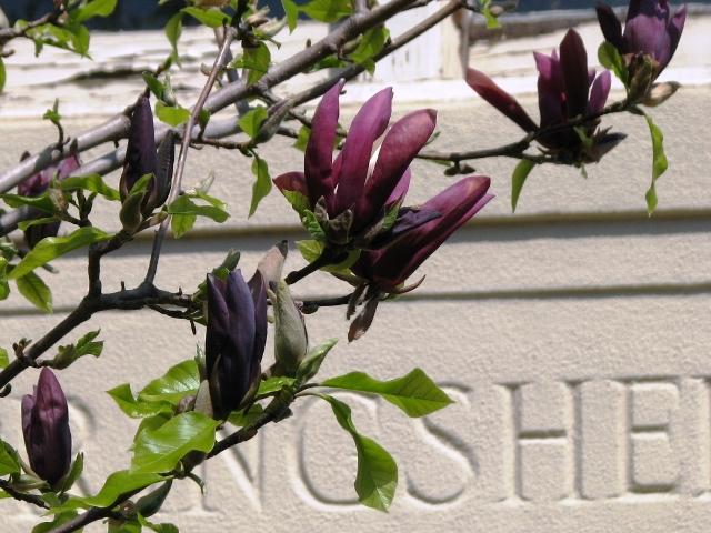 magnolia màu đen