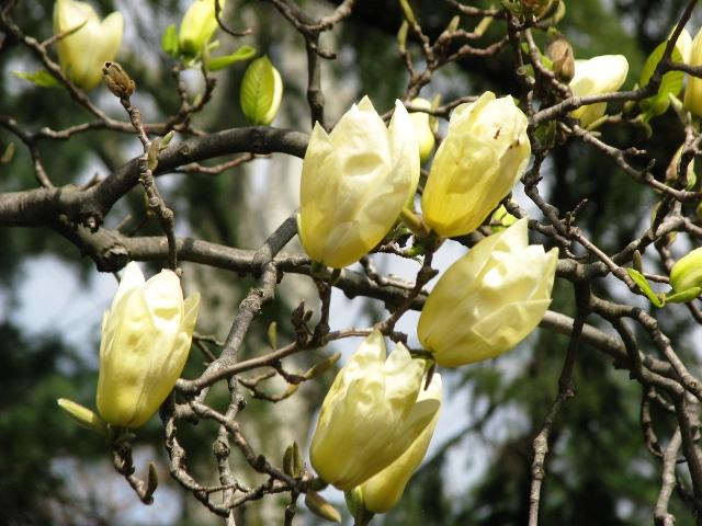 magnolia vàng