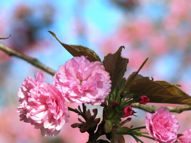 đào hoa y cựu