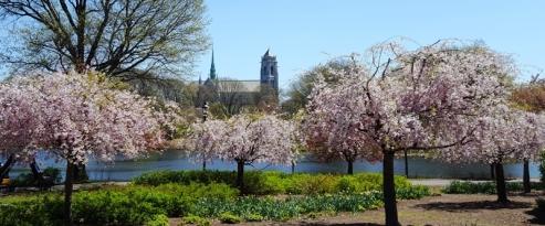 hoa đào ở công viên Branch Brook