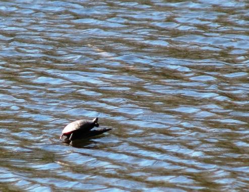 một con rùa