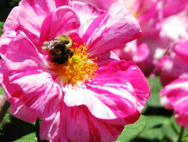 hồng có vân màu trắng và hồng nhạt