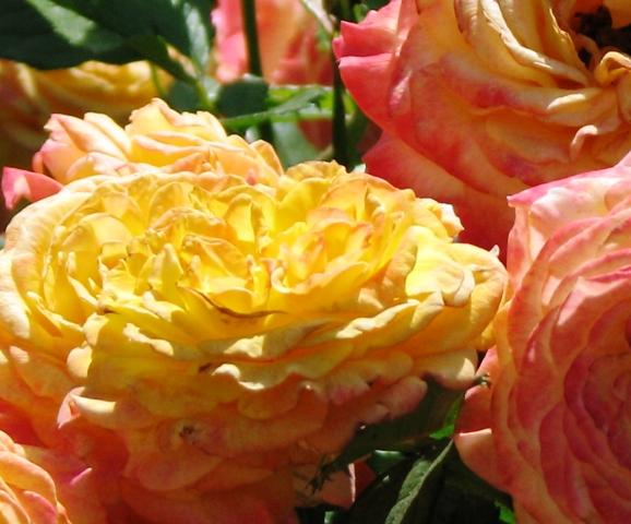 hồng hai màu cam và vàng