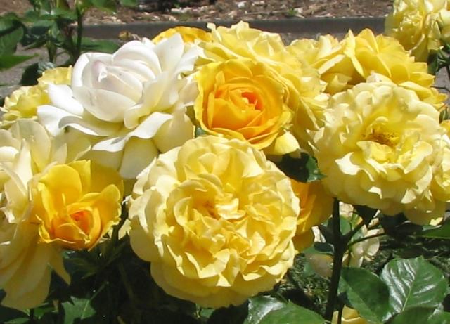 lẻ loi hồng trắng trong đám hồng vàng