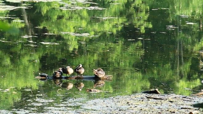 bốn vịt một rùa