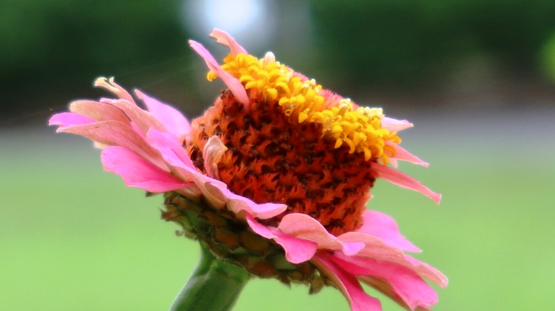 hoa cúc giống như cái mũ