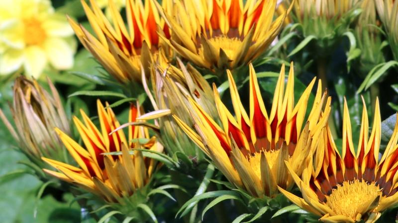 hoa tia nắng