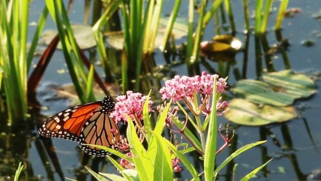 bướm đậu trên cành milkweed