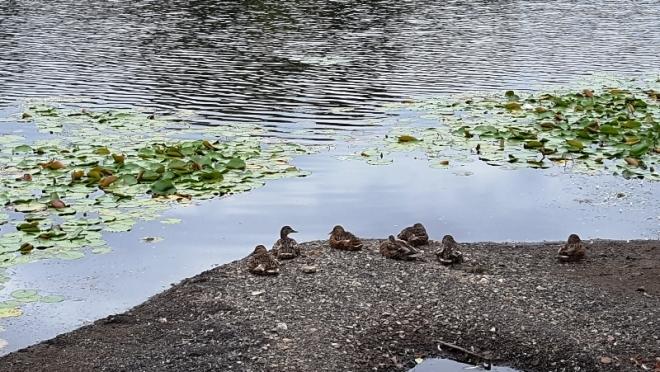 đàn vịt bên hồ