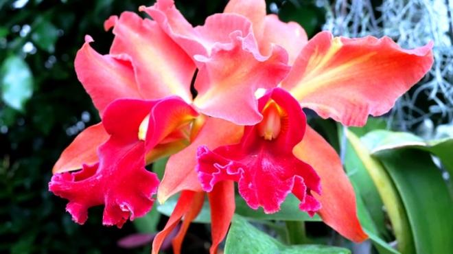 lan cattleya màu cam và hồng