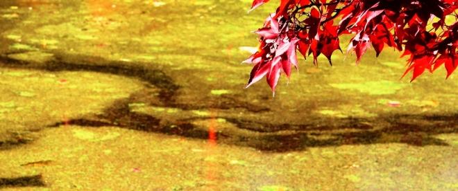 Lá phong la đà trên mặt hồ