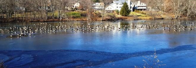 Canada geese trên hồ Watchung